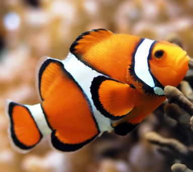 Super SALE Diamond Painting Artibalta - Clown Fish