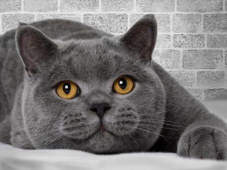 Diamond Painting Artibalta - British Cat