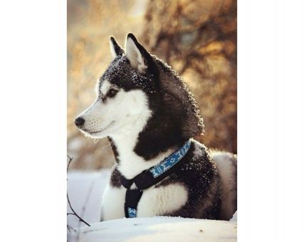Diamond Embroidery/ Diamond Painting - Husky