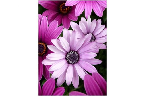 Diamond Painting Wizardi - PURPLE DAISIES